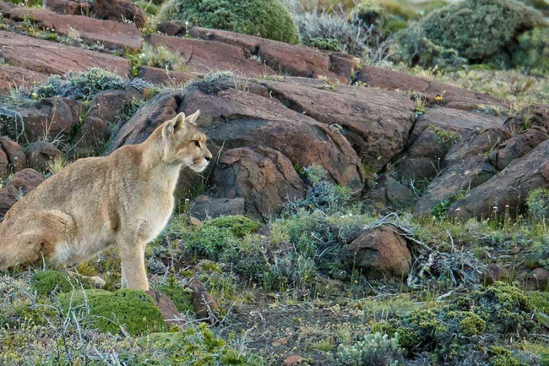 Puma-Tracking-In-Patagonia_Chile