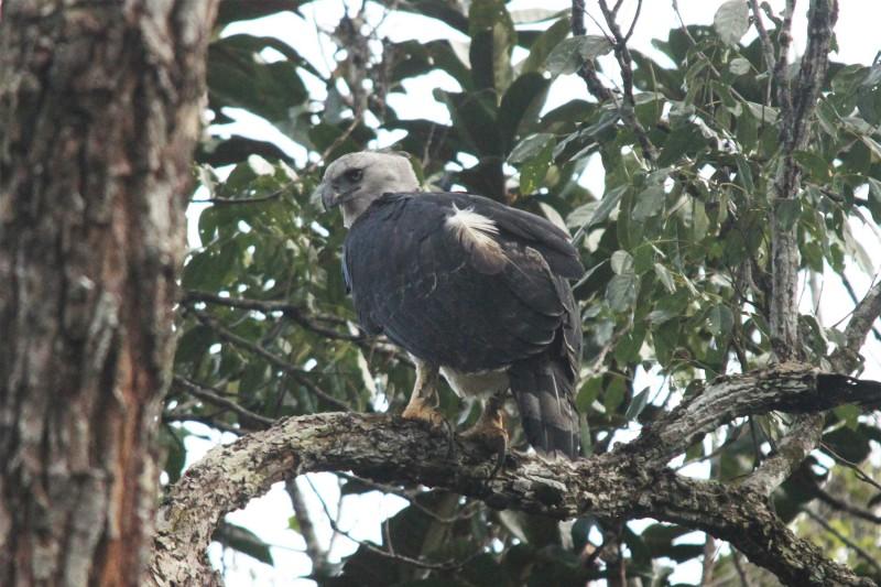 Guyana-Wildlife-Tours-Itinerary-2_Harpy-Eagle