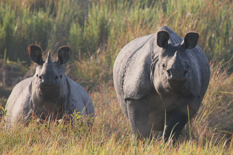 Indian greater one-horned rhinos in Kaziranga
