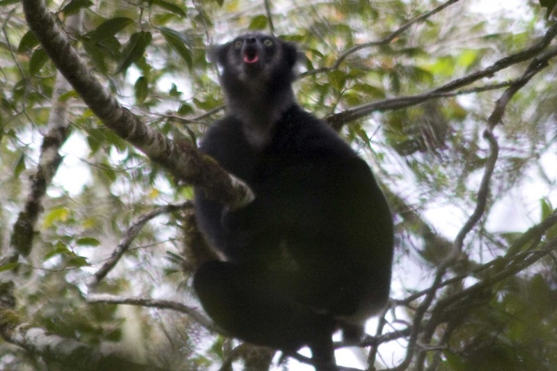Black Indri - As seen on our Madagascar Wildlife Tours in Perinet