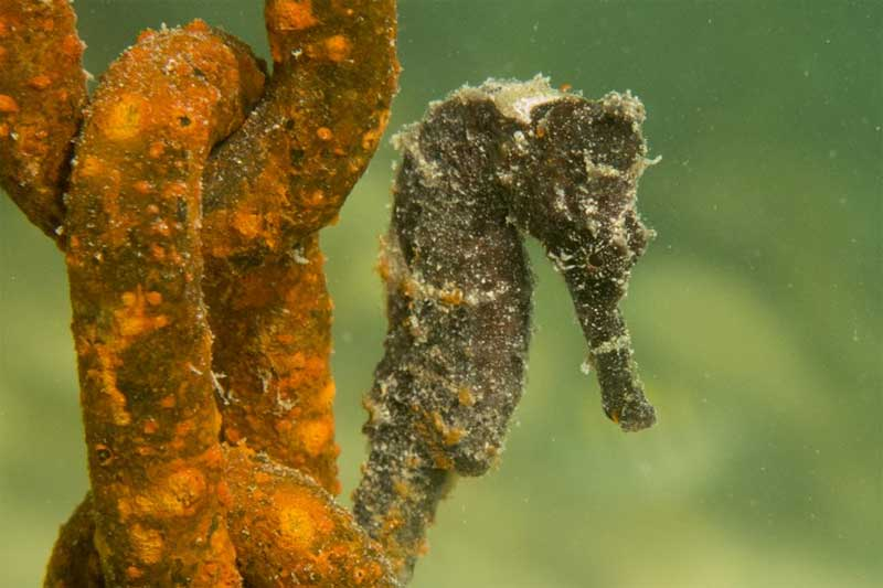 Long-nosed Seahorse (Hippocampus reidi) Half a dozen of these magical fish lived right under under our feet on the Jetty.
