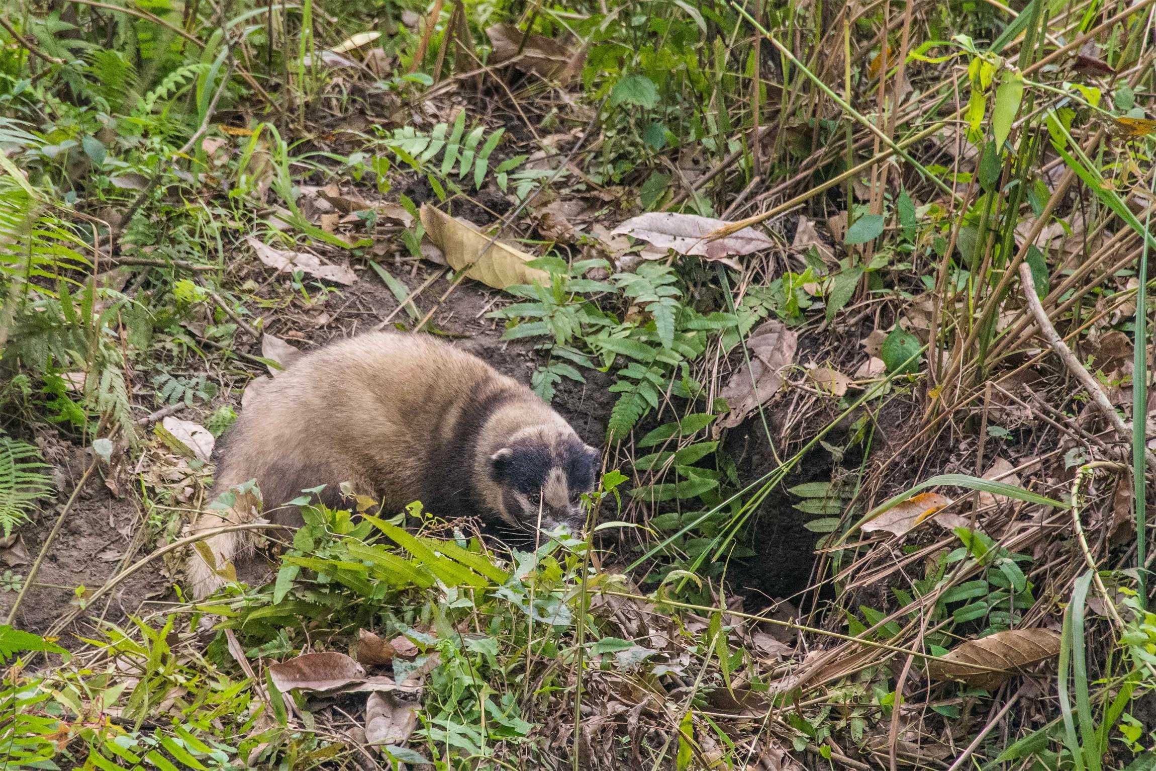 India Wildlife Tours Highlight - A Hog badger