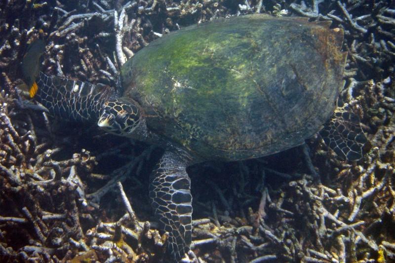 Sri-Lanka_Itineraries_Hawksbill-turtle