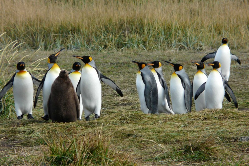 chile-wildlife-tours_tierra-del-fuego_king-penguins