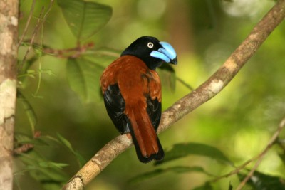 madagascar-wildlife-tours_tour_aye-aye-and-i_helmet-vanga