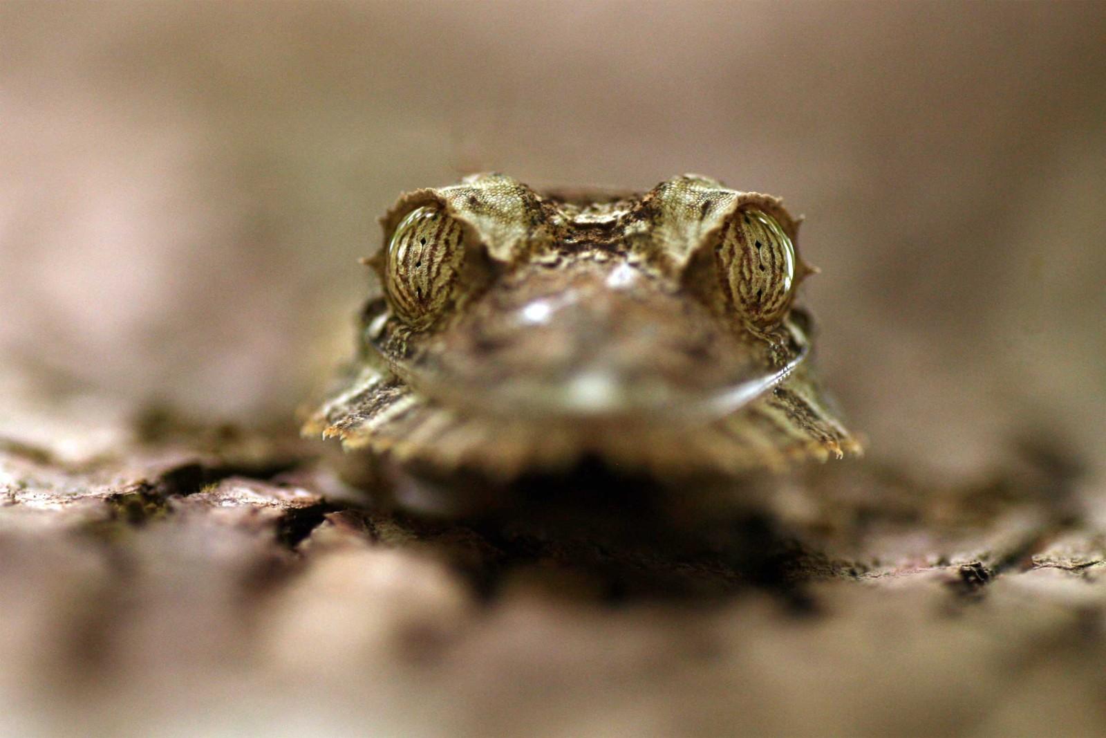 madagascar-wildlife-tours_tour_aye-aye-and-i_leaf-tailed-gecko-face