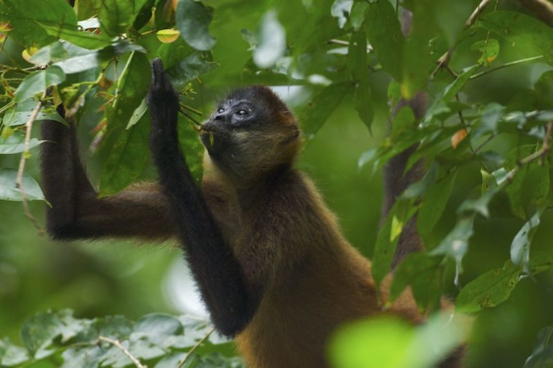 Spider Monkey - Seen on our Wildlife Tours of Costa Rica's Osa Peninsula