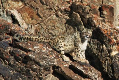 India-Wildlife-Tours_Tour_Snow-Leopard-BEST
