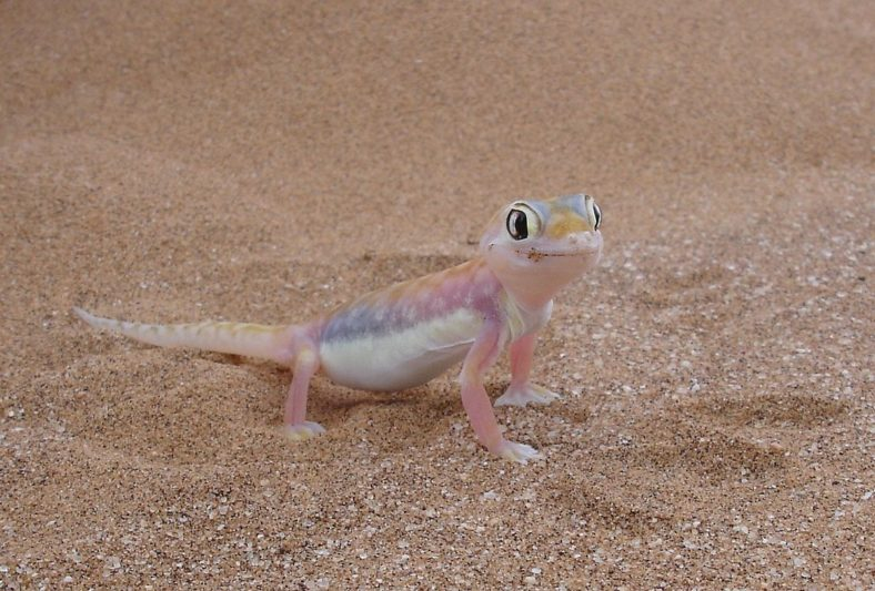 Namib Dune Gecko - Seen on Wildlife Tours of Namibia's Skeleton Coast