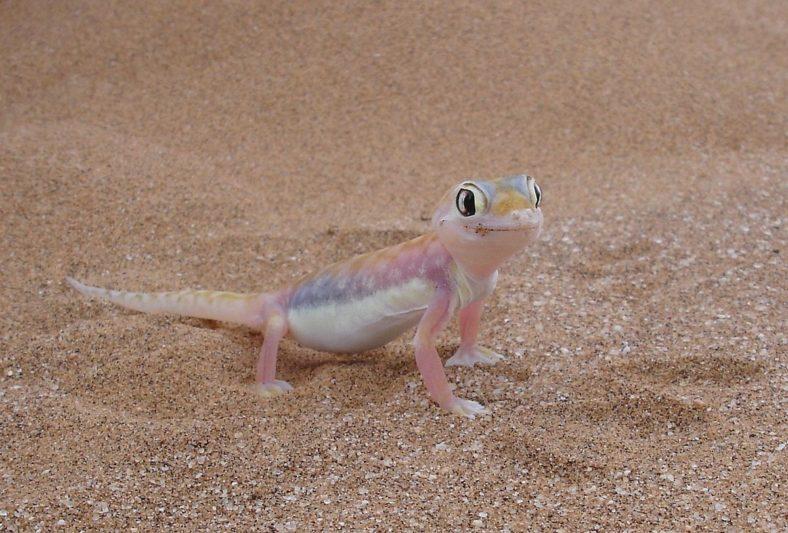 Namib Dune Gecko - Seen on Wildlife Tours of Namibia's Skeleton Coast
