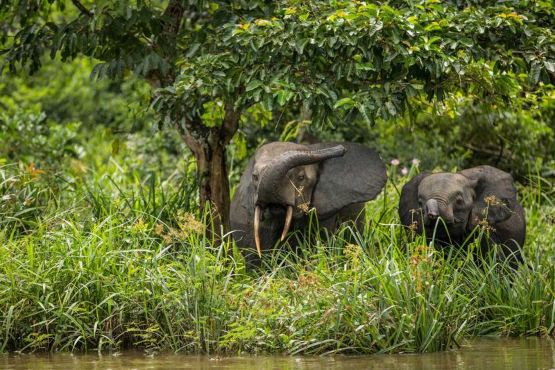 Congo-Wildlife-Tours-Itinerary-1_Odzala-elephants-on-river-1