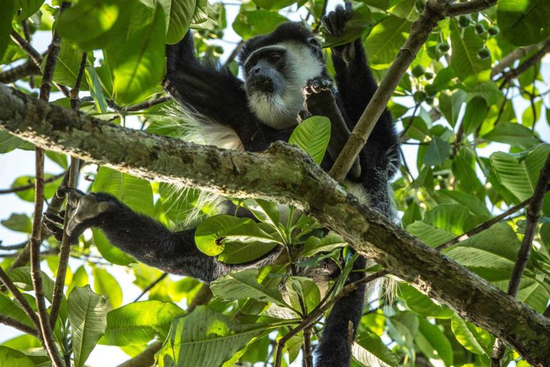 Congo-Wildlife-Tours_Accommodation_Lango--Camp-guereza-colobus