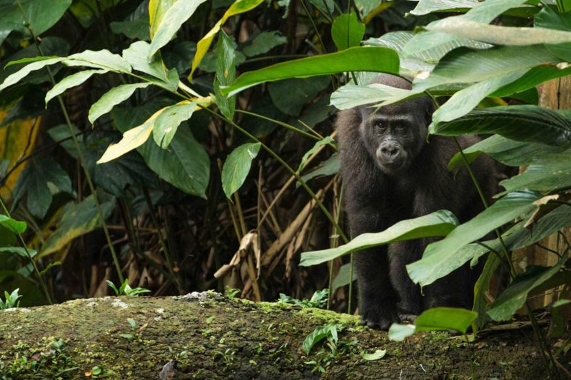 Congo-Wildlife-Tours_Accommodation_Ngaga-Camp-western-lowland-1