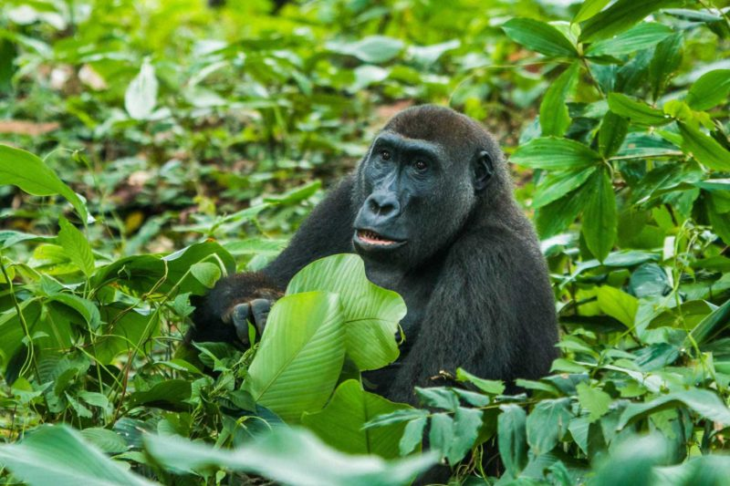 Congo-Wildlife-Tours_Accommodation_Ngaga-Camp-western-lowland-2