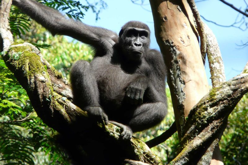 Congo-Wildlife-Tours_Accommodation_Ngaga-Camp-western-lowland