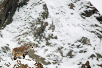 India-Wildlife-Tours_Tour_Blue-Sheep-1