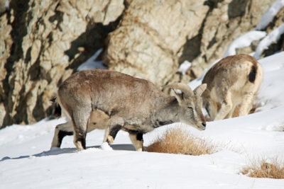 India-Wildlife-Tours_Tour_Blue-Sheep