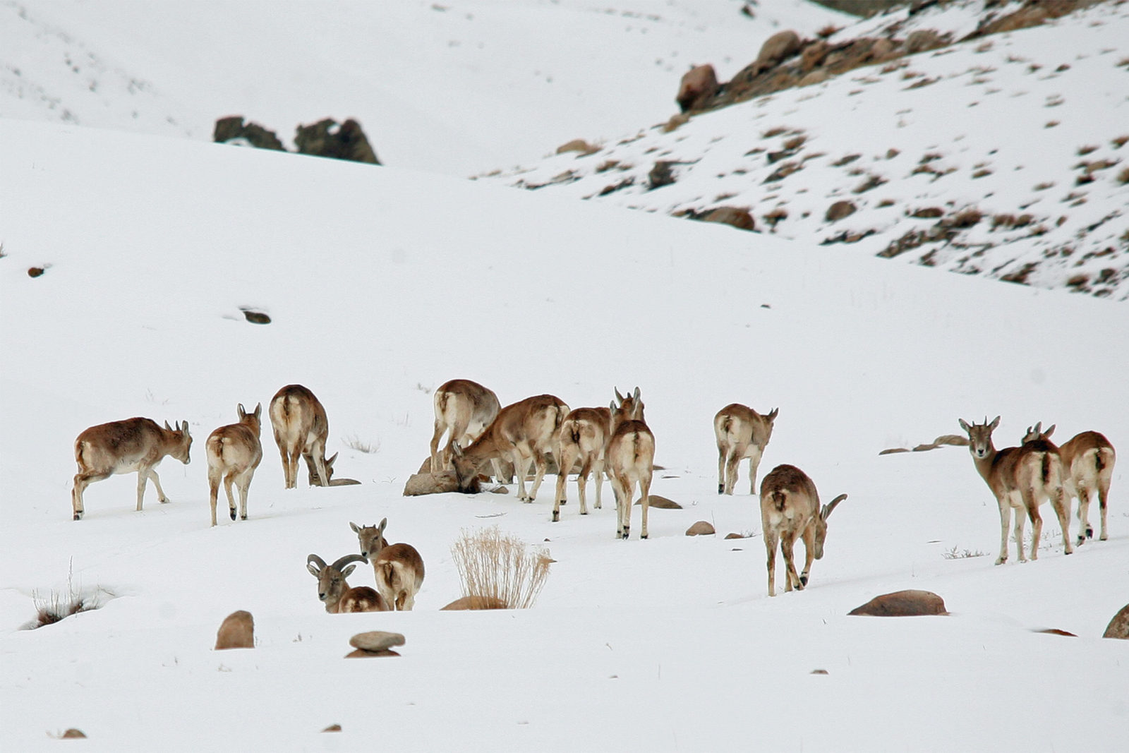 India-Wildlife-Tours_Tour_Ladakh-Urial-1