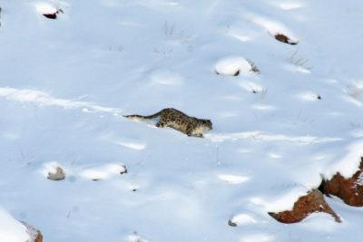 India-Wildlife-Tours_Tour_SNOW-LEOPARD-12jpg