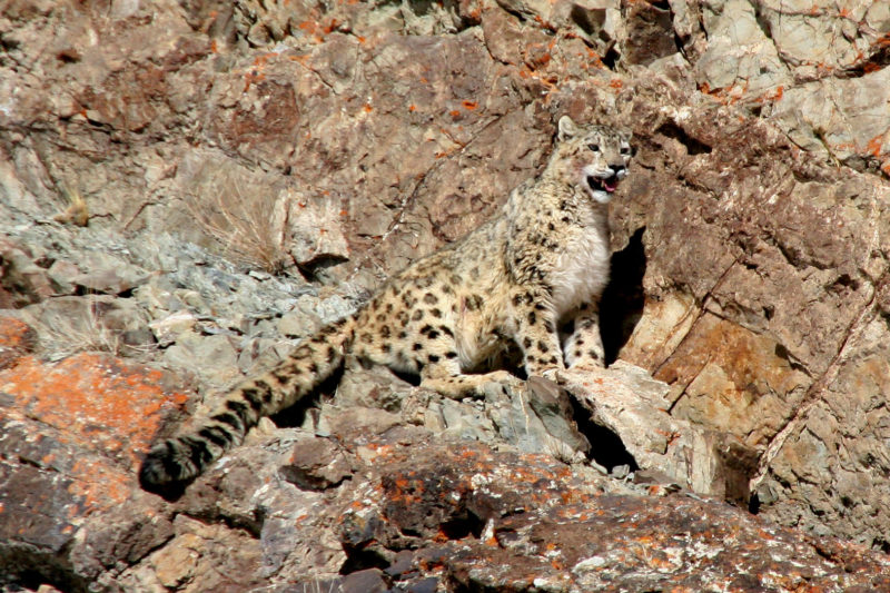 India-Wildlife-Tours_Tour_Snow-Leopard-1