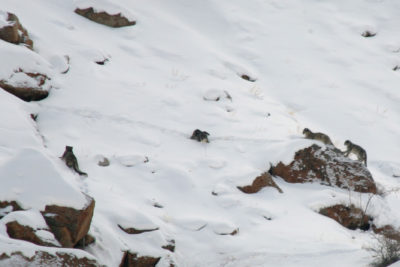 India-Wildlife-Tours_Tour_Snow-Leopard-4-together