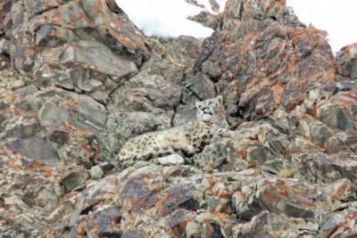 India-Wildlife-Tours_Tour_Snow-Leopard-5