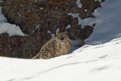 India-Wildlife-Tours_Tour_Snow-Leopard-7