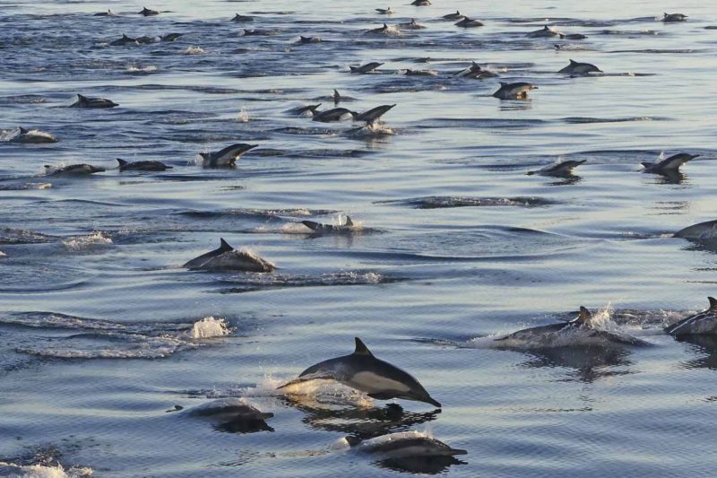 Long Beaked Common Dolphins 3