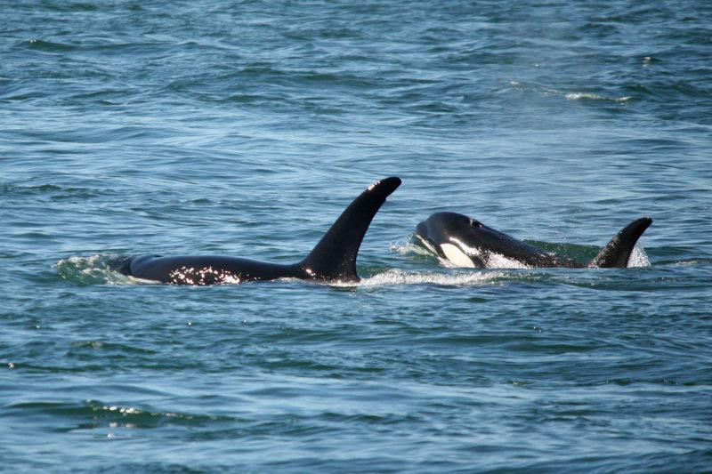 orca 9