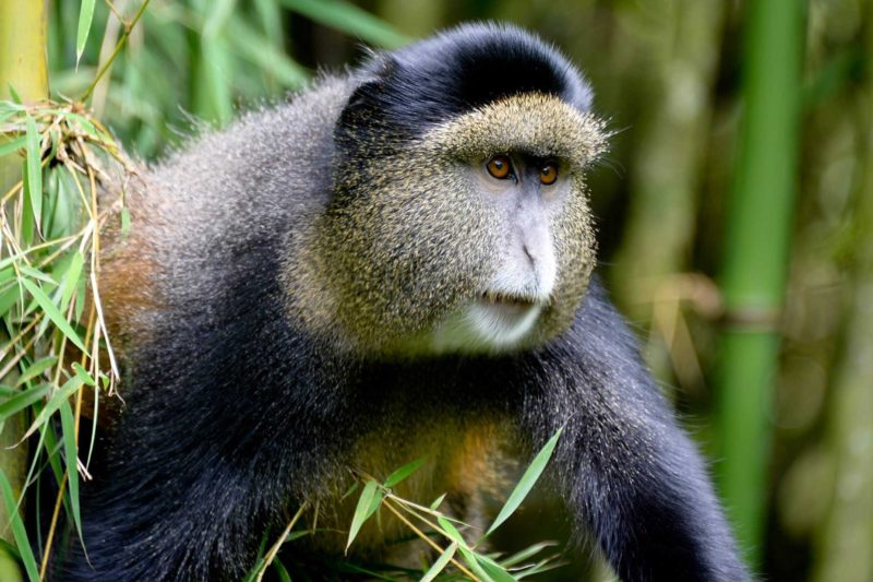 Rwanda-Wildlife-Tours_News_Golden-Monkey