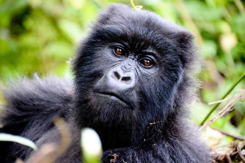 Rwanda-Wildlife-Tours_News_Mountain-Gorilla