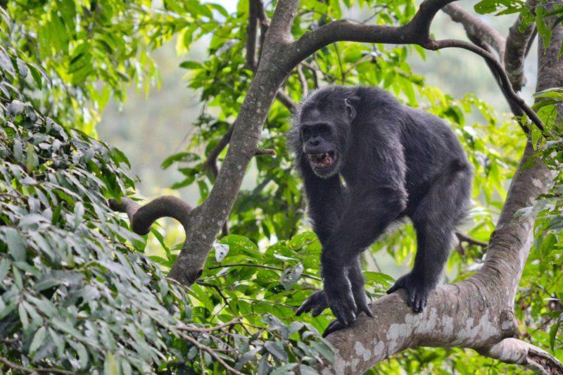Rwanda-Wildlife-Tours_News_Nyungwe-Chimp