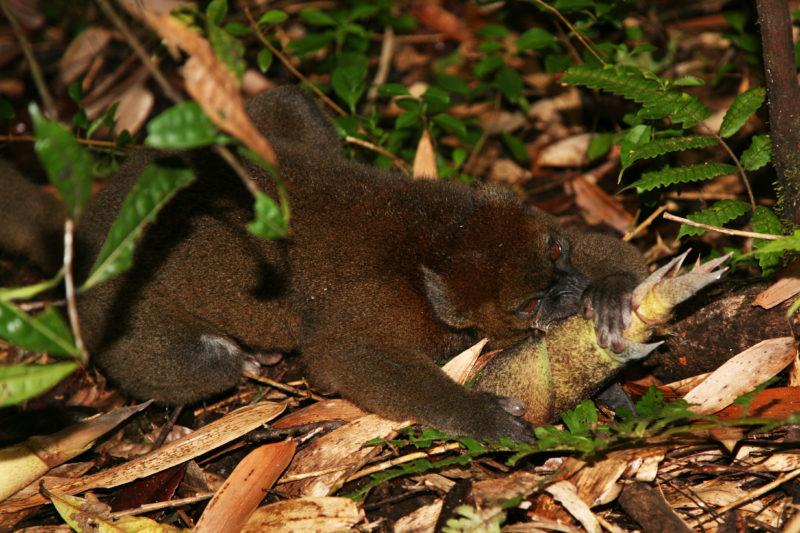 Greater bamboo lemur 7