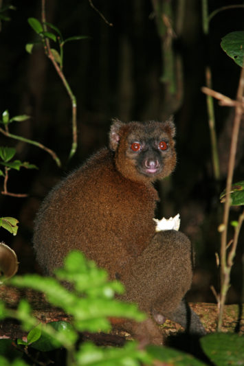 greater bamboo lemur 1