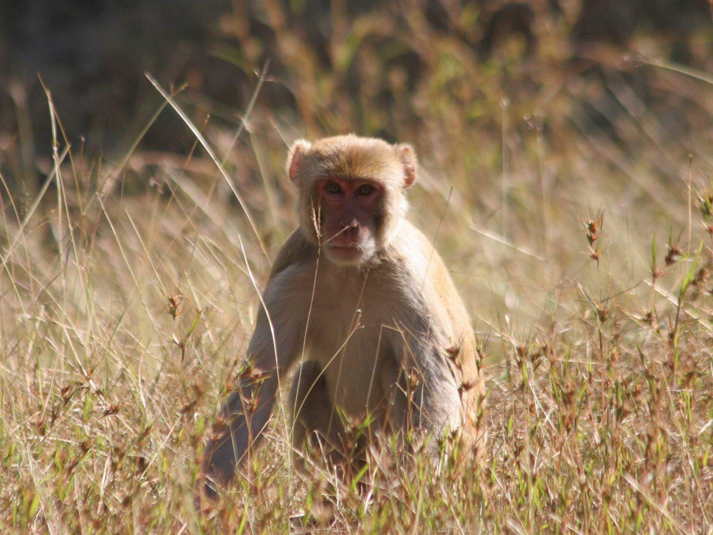 Pench Rhesus Macaque1