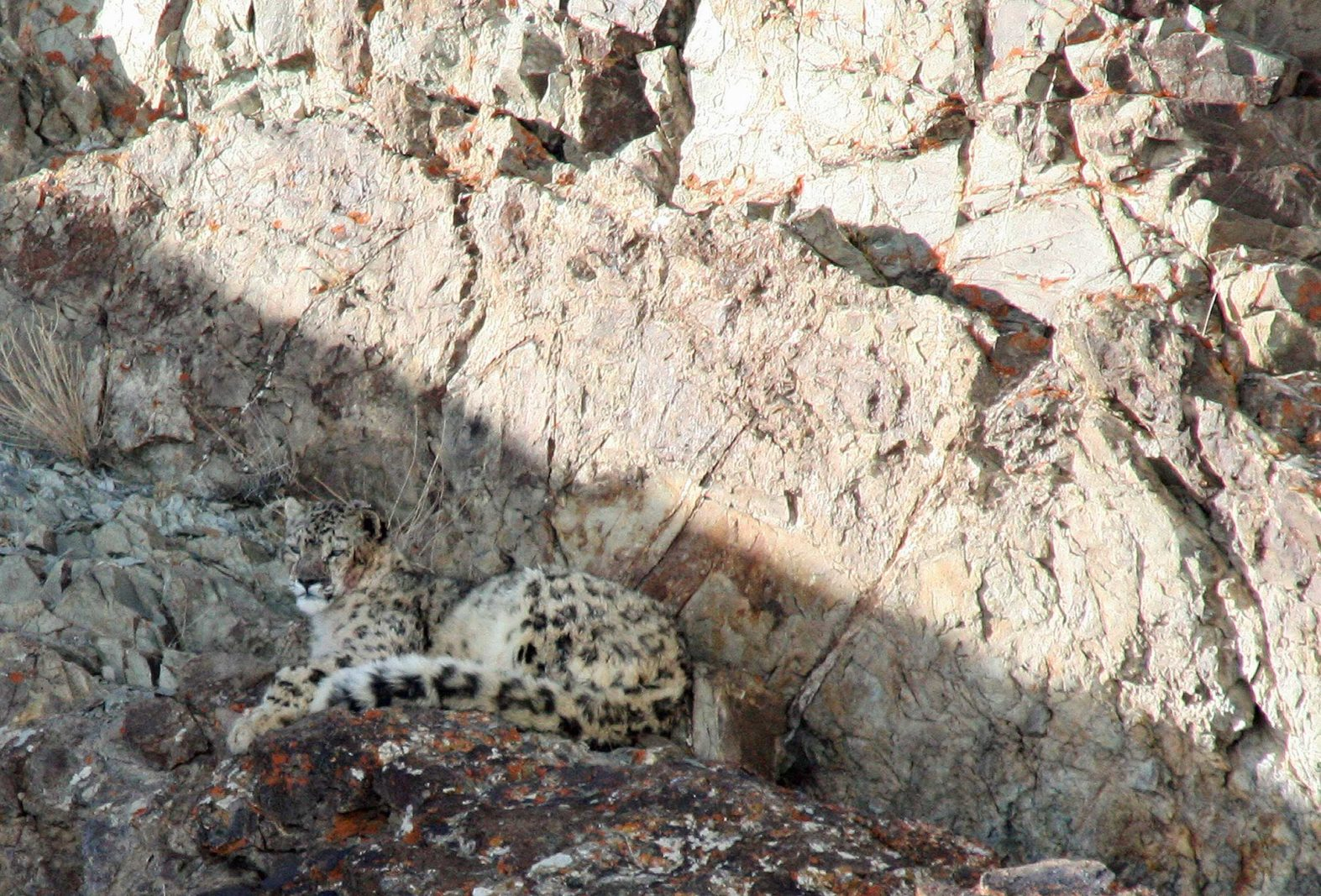 Snow-leopard-resting