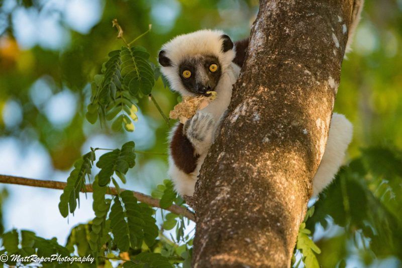 Trip Report Madagascar Highlights By Julia Tsoy And Matthew Roper