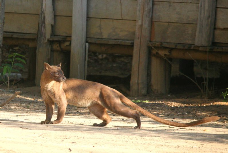 spotlight on the fossa of madagascar reef and rainforest tours