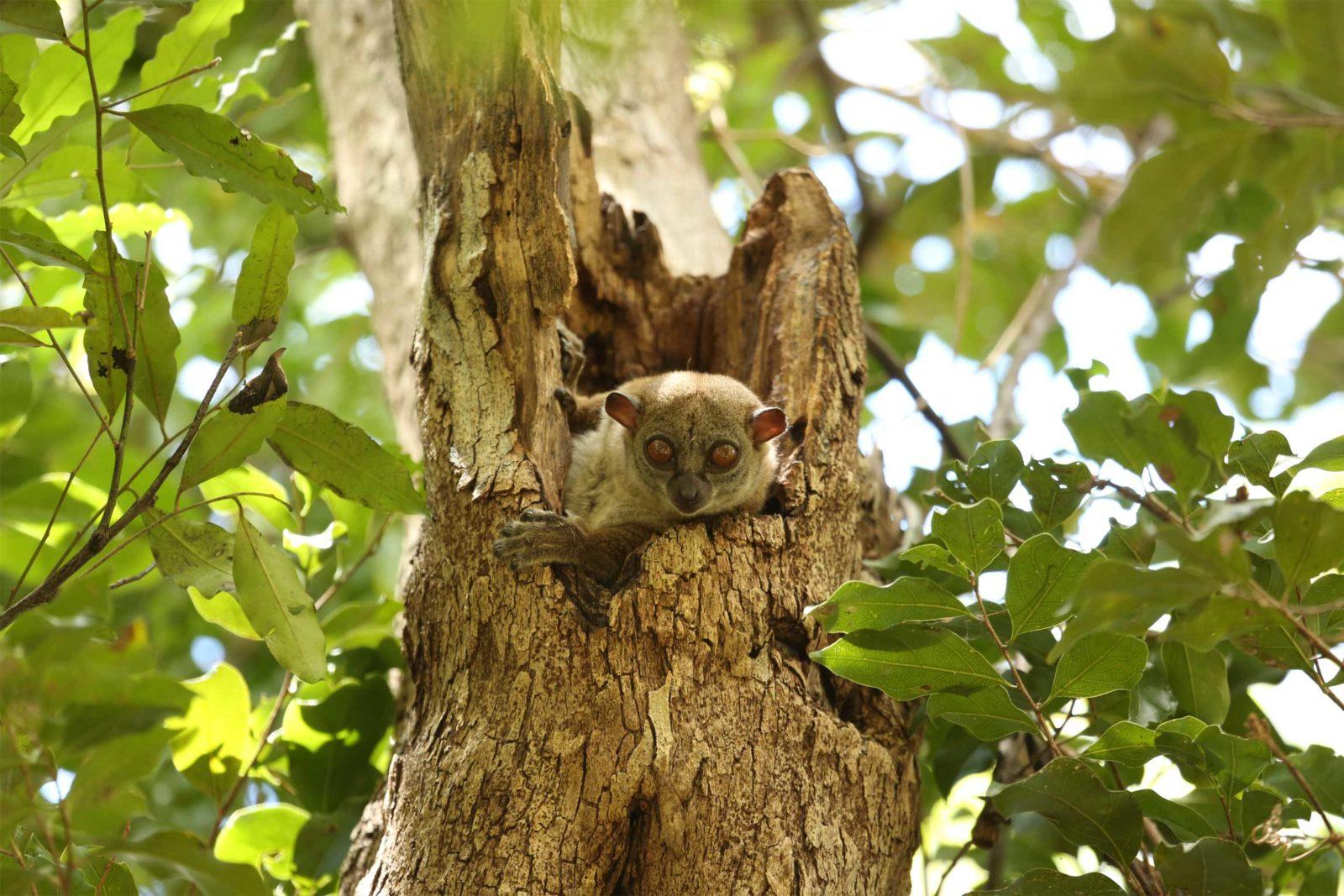 Ankarana-sportive-lemur-2