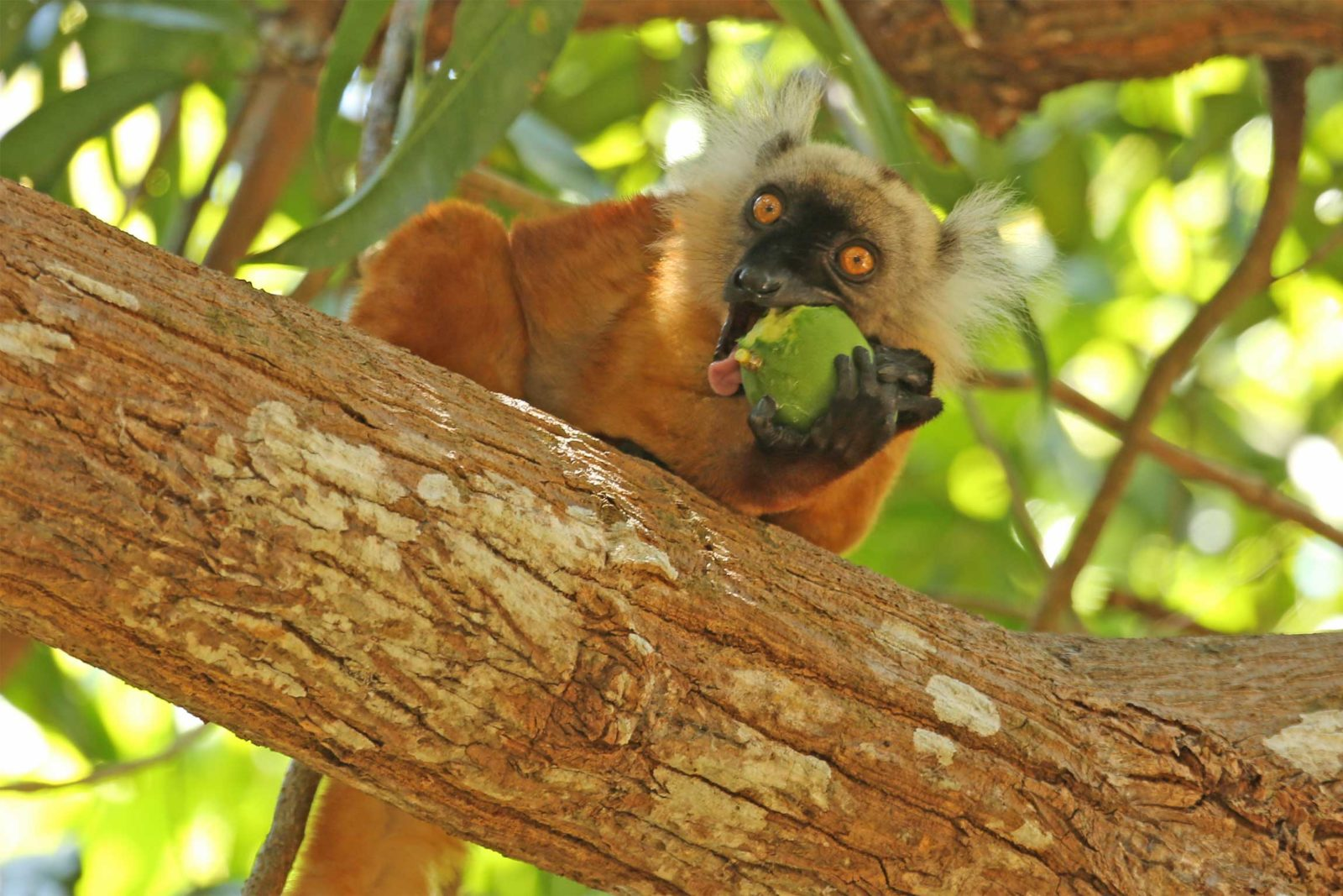 Black-Lemur-Lokobe
