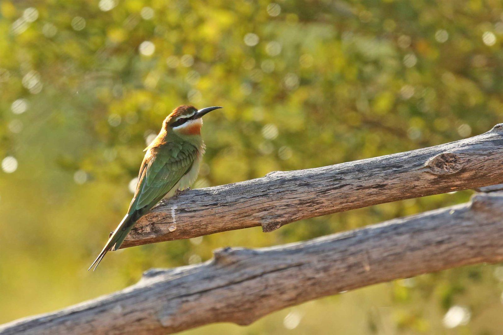 Madagascar-bee-eater