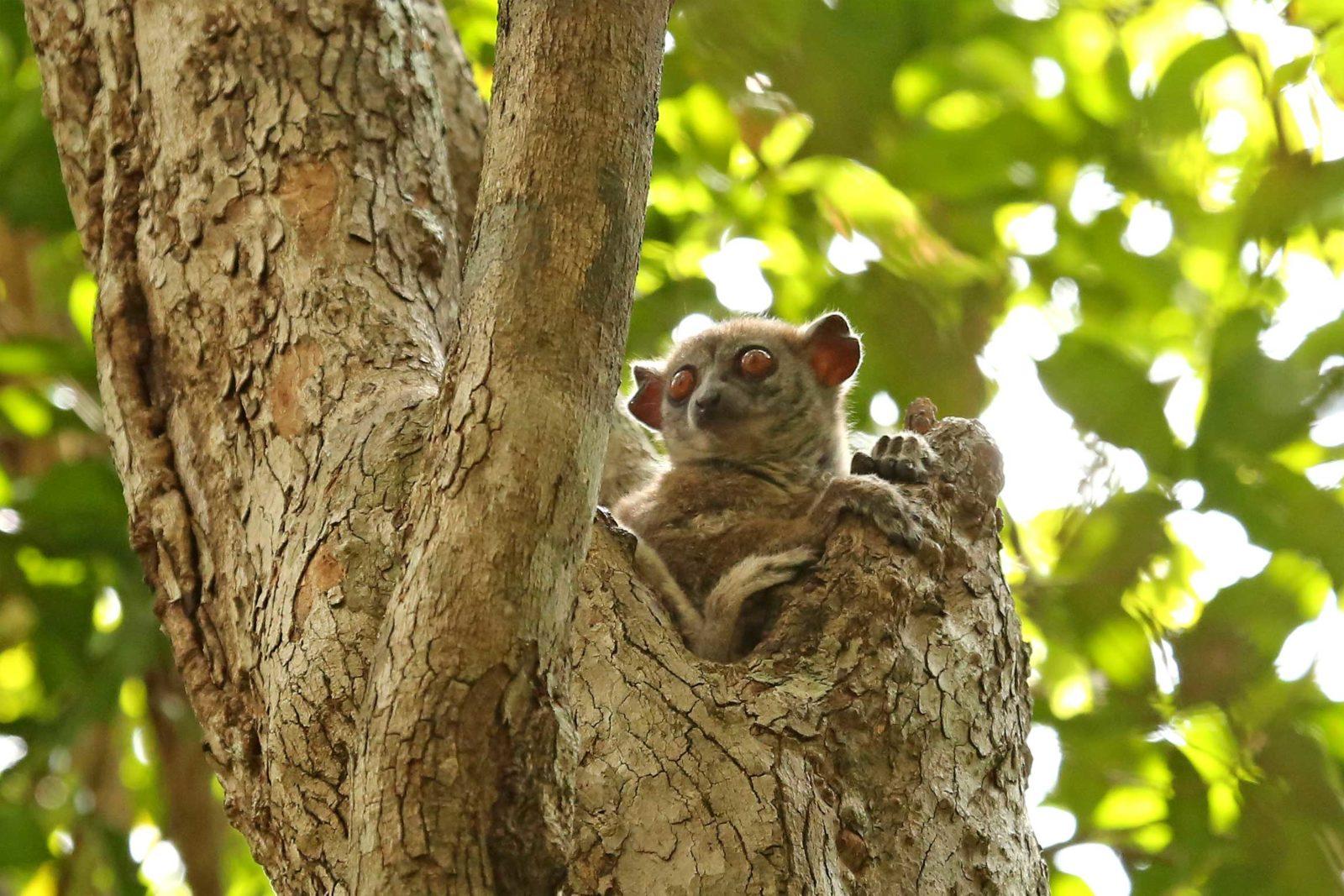 Northern-sportive-lemur
