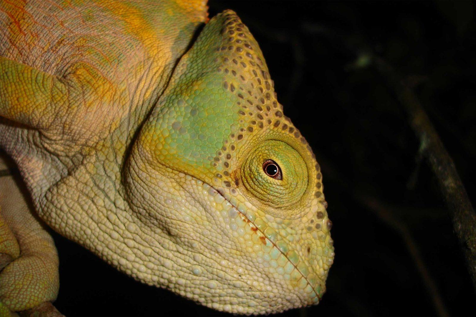 Parsons-Chameleon