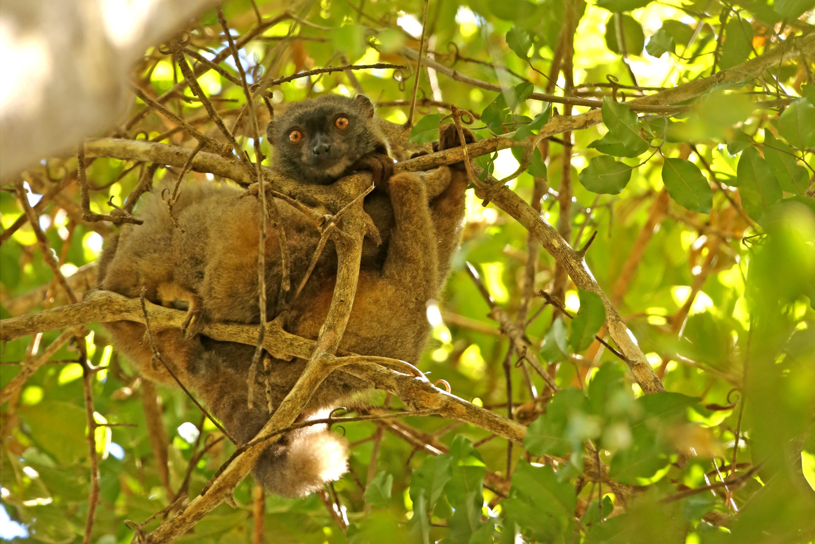 Sandford's brown lemur